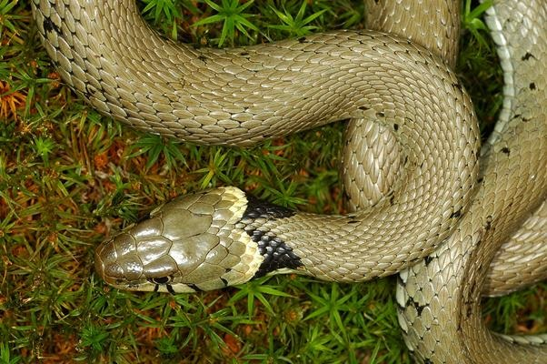a picture of a common grass snake