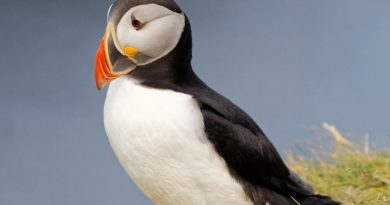 a picture of a solitary puffin