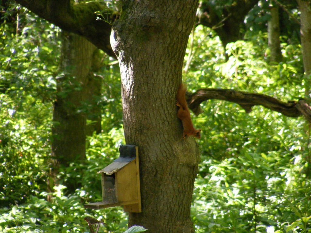 The picture shows a Red Squirrel on a tree in Penrhos coastal park