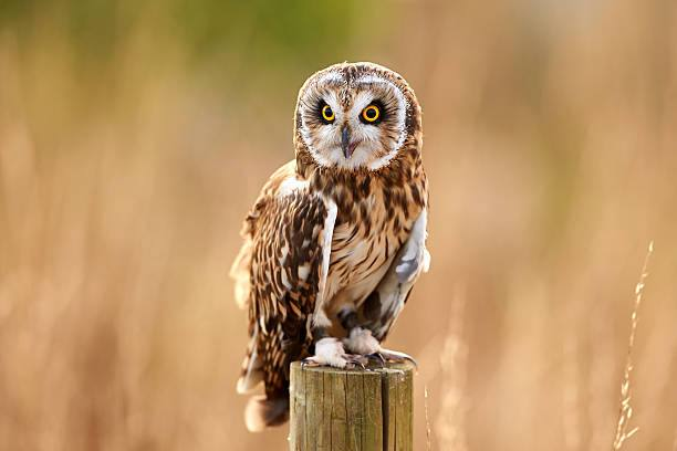 Small Eared Owl